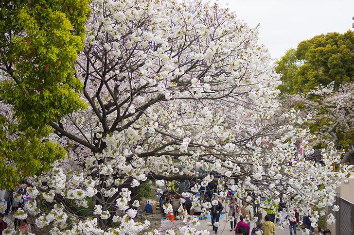 埼玉県のお花見スポット、川越市、秩父市、埼玉市の桜をご紹介