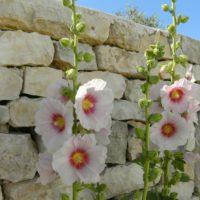 梅雨明けの目安は梅雨とタチアオイの花の関係にある?